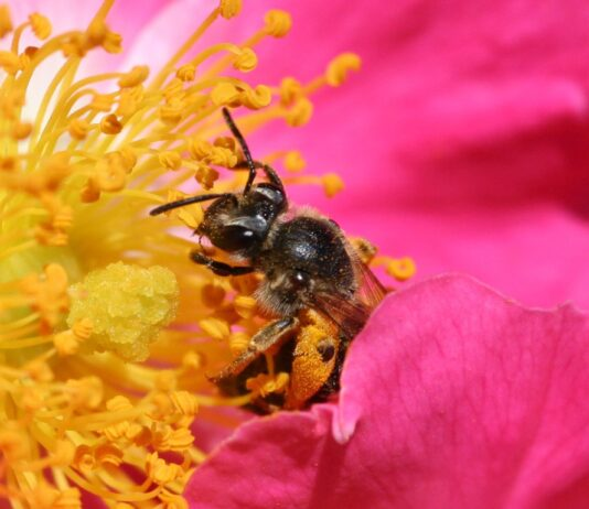 Bee pollinating a rose