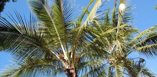 Palm Trees in Australia