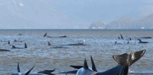 90 of Australia whales dead in mass stranding off Tasmania